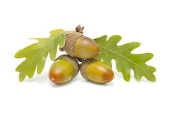 Three acorns Royalty Free Stock Images