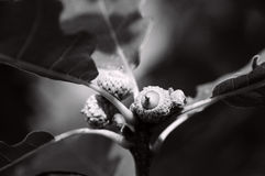 Three acorns on a branch Stock Images