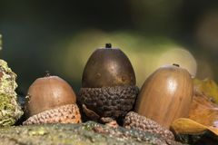 Three acorns Royalty Free Stock Photography