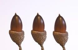 Three acorns isolated on white background Stock Photos