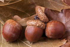 Three acorns on leaves. Stock Image