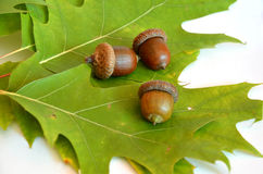 Three acorns next to the oak leaf Stock Photo