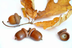Three acorns next to the oak leaf Stock Photography
