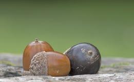 Three acorns royalty free stock photos