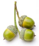 Three acorns Royalty Free Stock Photos