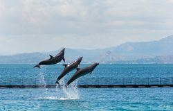 Three Acrobatic Bottle-nose dolphins stock images