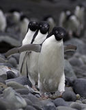 Three Adele Penguins. Adelie penguins (Pygoscelis adeliae). Frontal view walking in a synchronized way towards the camera Royalty Free Stock Images