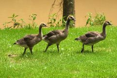 Three adolescent geese. Three baby geese close to maturity Royalty Free Stock Images