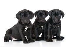 Three adorable cane corso puppies Stock Photo