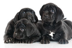 Three adorable cane corso puppies Royalty Free Stock Photo
