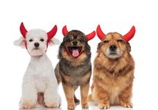 Three adorable dogs dressed as devil for halloween. Standing and sitting on white background Royalty Free Stock Images
