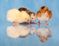Three adorable Easter chicks Stock Photography