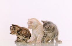 Three adorable furry kittens interested in something on white ba Royalty Free Stock Photography