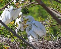 Adorable Egret chicks in nest stock image