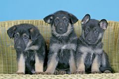 Three adorable German Shepherd puppies sitting together on wicker chair. Three german Shepherd puppies together on wicker chair, watching interested stock photo