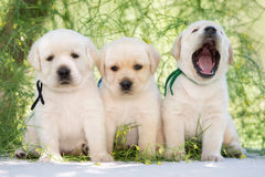 three adorable labrador retriever puppies royalty free stock images