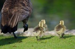 Three Adorable Little Goslings Running Alongside of Mom Stock Photo