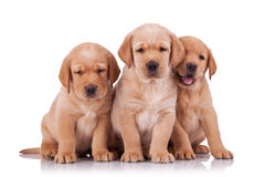 Three adorable little labrador retriever Stock Image