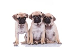Three adorable pug friends looking sad and depressed. Two fo them sitting and one standing and looking to side on white background Stock Image