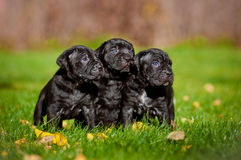 Three adorable puppies Royalty Free Stock Photos