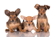 Three adorable russian toy terrier puppies Royalty Free Stock Image