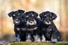 Three adorable schnauzer puppies Royalty Free Stock Photography