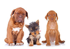 Three adorable sleepy puppies sitting on white background. French mastiff, yorkshire terrier and viszla purebred dogs Stock Photo