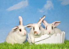 Three white bunnies in grass two in an easter basket. Three adorable white spotted baby bunnies, two in basket and one sitting next to it in green grass with Royalty Free Stock Image
