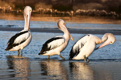 Three adult australian pelicans on the beach. Three adult Australian pelicans in a row, on the beach Stock Photos