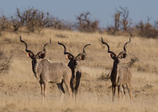 Three adult kudu bulls. Three massive adult kudu bulls with gigantic horns photographed in Botswana Royalty Free Stock Photography