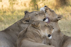 Three affectionate lionesses groom each other. Stock Photos