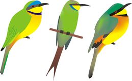 Three African bee eaters. Illustration of three African bee eaters, from left to right, Blue breasted bee eater, Merops variegatus, swallow-tailed bee-eater vector illustration