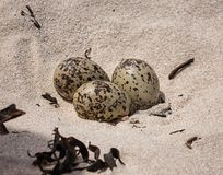 Black Oystercatcher Eggs. Three African Black Oystercatcher eggs in a shallow scrape on a beach in Southern Africa Royalty Free Stock Photo