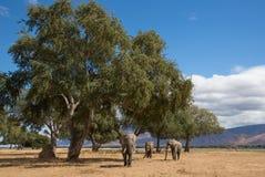 Three African Elephant bulls (Loxodonta africana) in the Zambezi Stock Photography