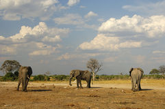 Three African Elephants, Botswana Royalty Free Stock Image