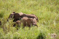 Three African elephants grazing. On the riverbank between the reeds Stock Images