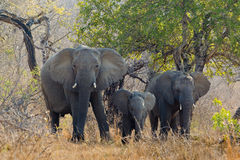 Three African Elephants Royalty Free Stock Photography