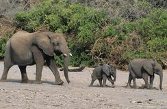Three African Elephants (Loxodonta Africana) in a row Royalty Free Stock Photography