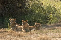 Three African Lioness under a Tree stock photo