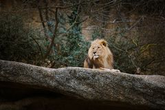 Three African lionesses of red color rest on a stone in a zoo of the city of Basel in Switzerland in winter in cloudy weather royalty free stock image