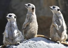 Three african meerkats prairie rat squirrel Royalty Free Stock Image