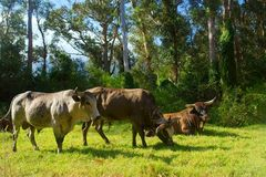 Three African Nguni bulls. On pasture. Shot in Vergelegen estate area, Hottentots Holland Mountains, near Somerset West, Western Cape, South Africa Royalty Free Stock Image