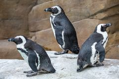 Three African penguins looking in different directions royalty free stock photo