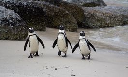Three African penguins Spheniscus demersus on Boulders Beach near Cape Town South Africa coming back from the ocean stock image