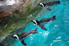 Three african penguins swimming Royalty Free Stock Photos