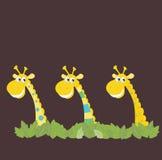 Three African Safari Giraffes Stock Image