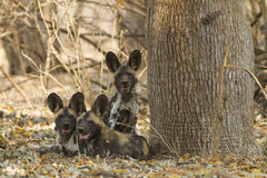 Three African Wild Dog puppies looking at the camera. Three African Wild Dog puppies (Lycaon pictus) looking at the camera Stock Photo