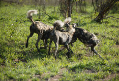 Three African Wild Dogs fighting, Kruger National Park royalty free stock photography