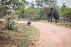 Three African wild dogs starring at an Elephant. Stock Images
