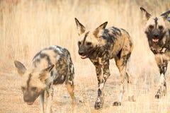 Three african wild dogs walking through high grass Royalty Free Stock Photos